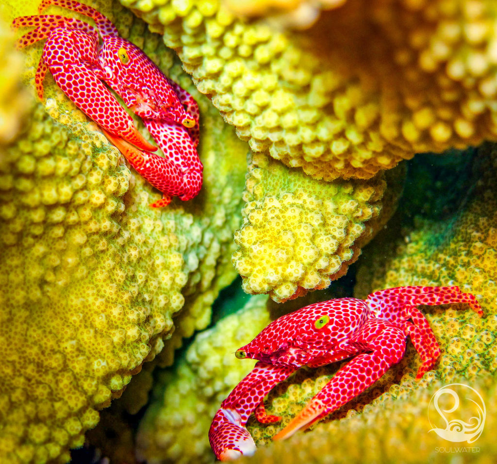 Coral crabs