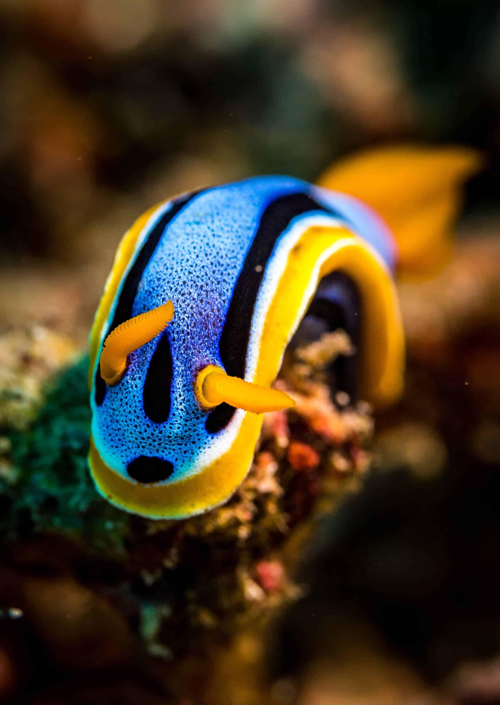 Chromidoris nudibranch