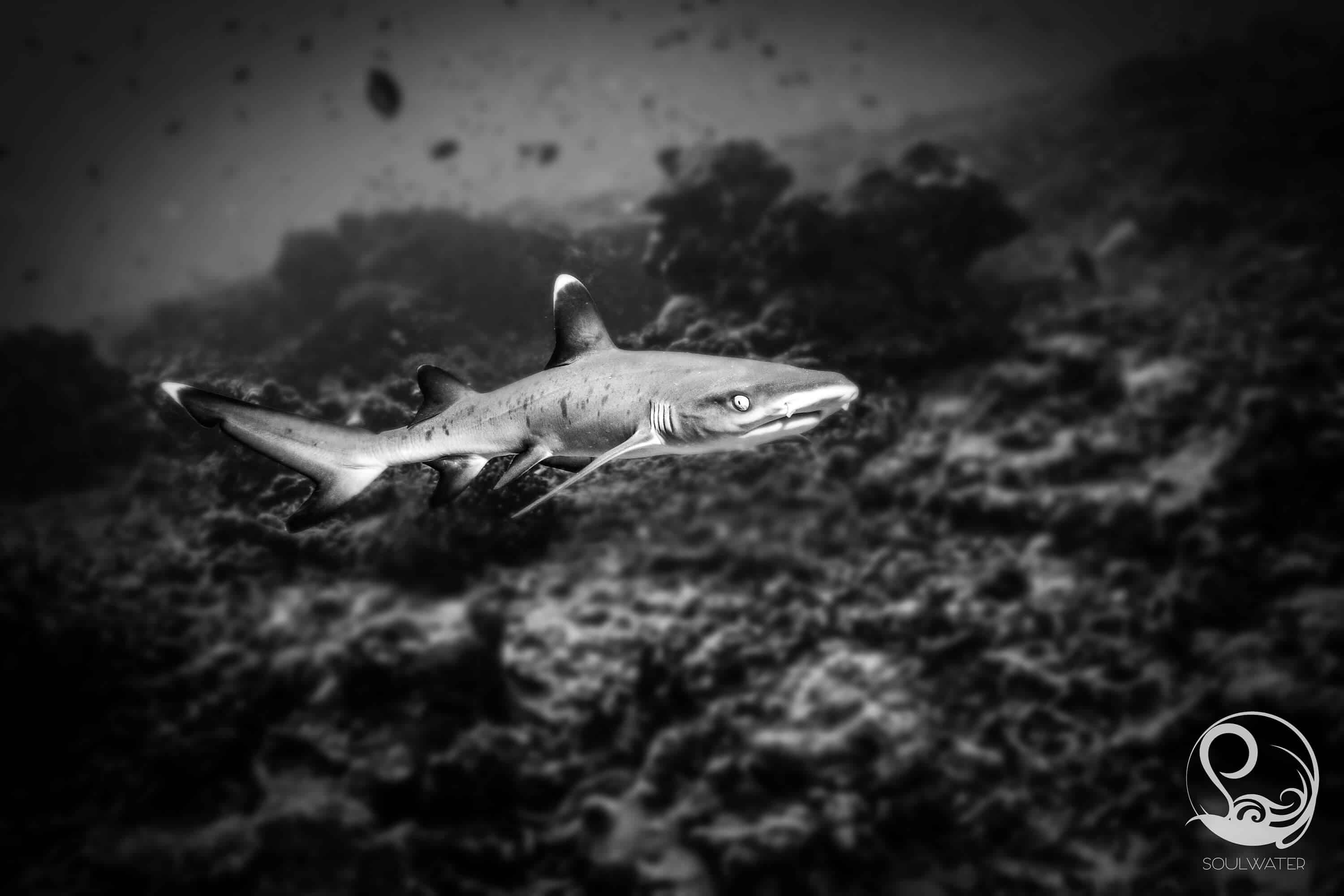 Whitetip Reef shark in Gili Trawangan, Indonesia