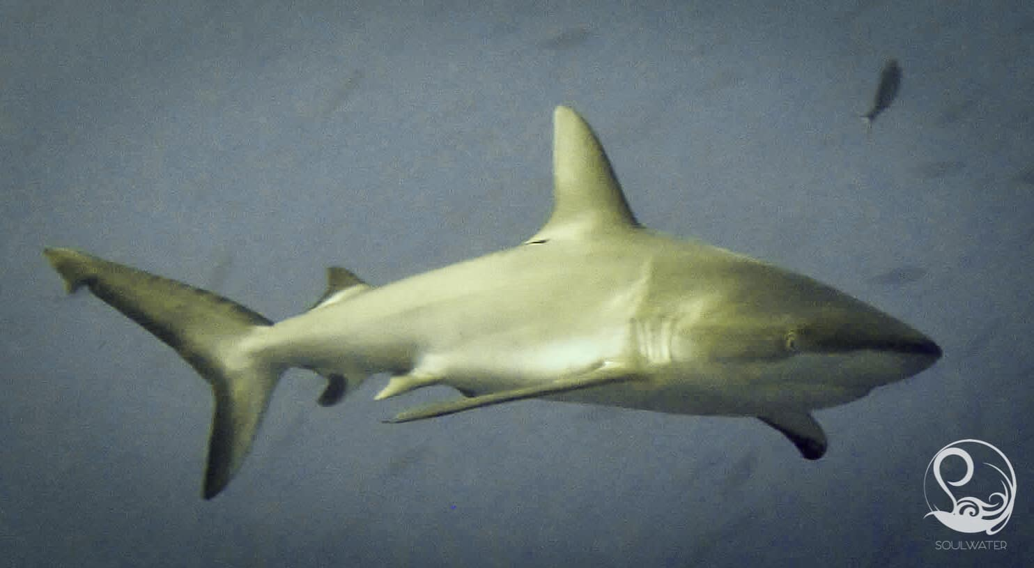 Grey Reef Shark in Palau