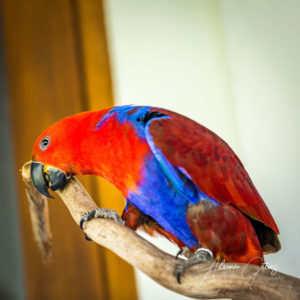 Colourful parrot red and blue