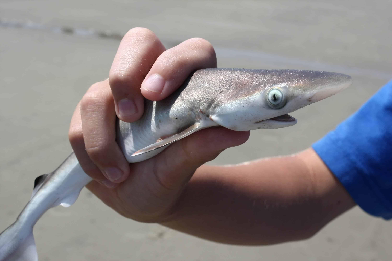 Dead juvenile blacktip shark