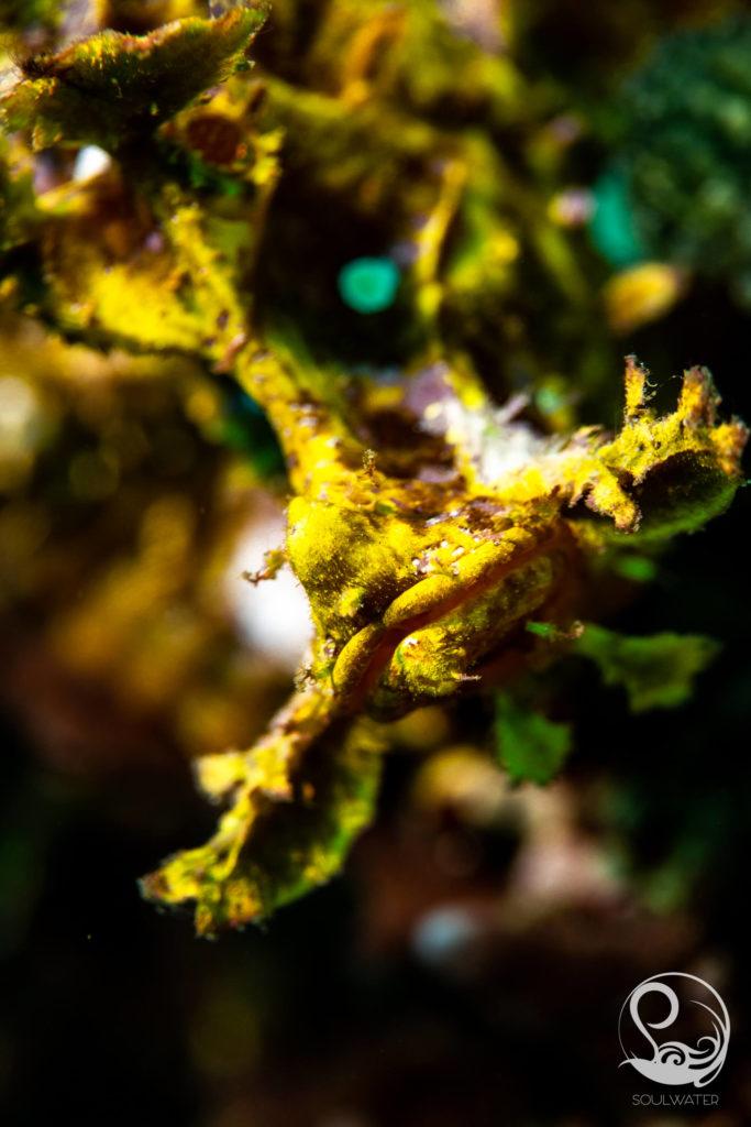 rhinopia macro underwater photography
