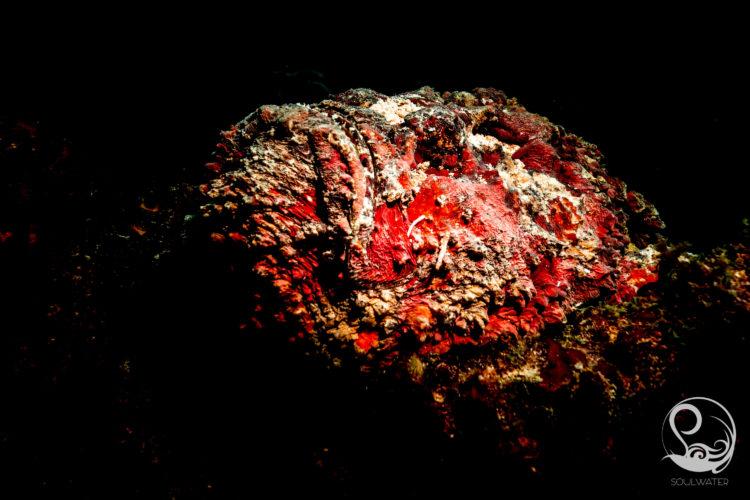 Stone fish on night dive