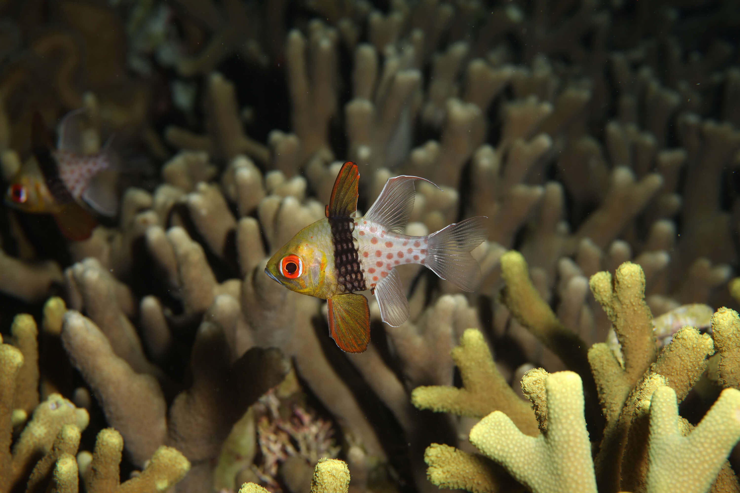 Cardinal fish on night dive