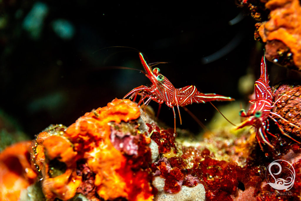 colourful hingebeak shrimp