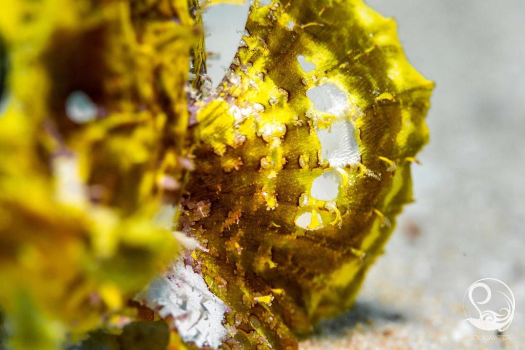 yellow rhinopia pectoral fin