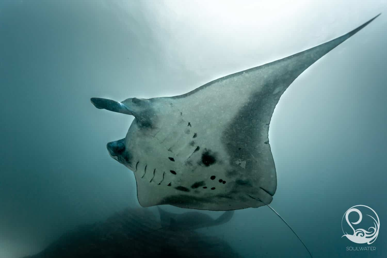 Manta ray flying overhead underwater, belly markings, manta point, Nusa Penida, Bali, Indonesia